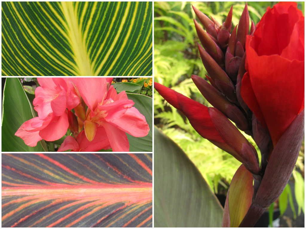 Canna Lilies are great for thriller in containers. Clockwise from top: Tropicanna Gold, 'Tropical Bronze Scarlet', Tropicanna and 'Tropical Rose' Canna.
