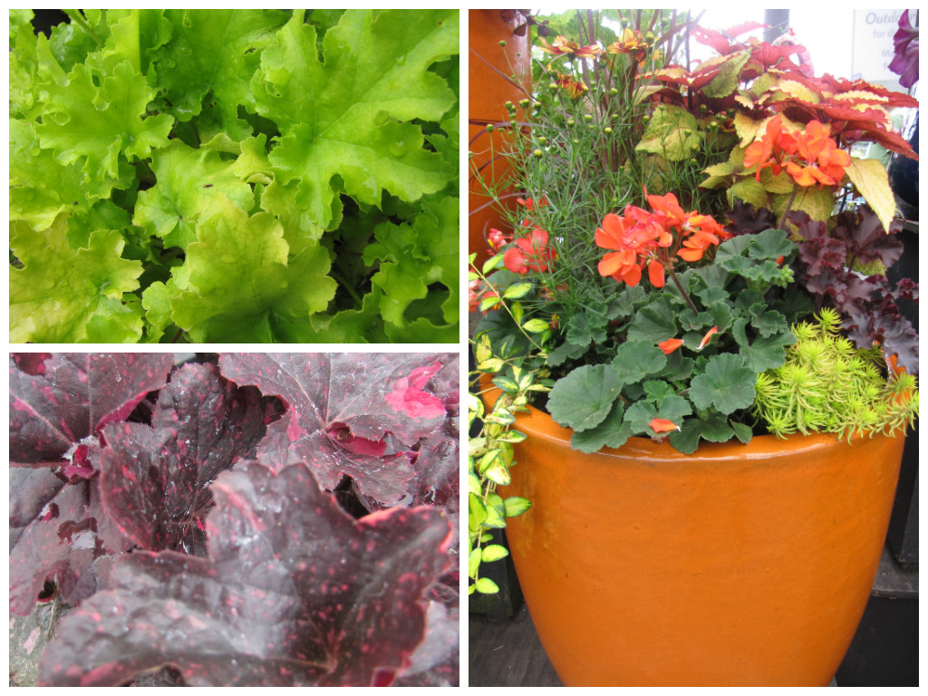 Clockwise from top: 'Lime Marmalade' closeup, beautiful sun container with Heuchera as the thick plant, and 'Midnight Rose' with its unique purple leaves speckled in magenta.